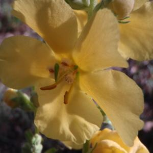 Photographie n°90359 du taxon Verbascum phlomoides L. [1753]