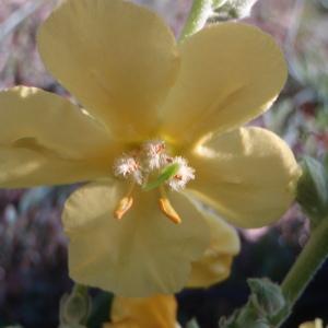 Photographie n°90361 du taxon Verbascum phlomoides L. [1753]