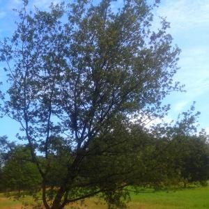 Photographie n°90563 du taxon Quercus ilex L. [1753]