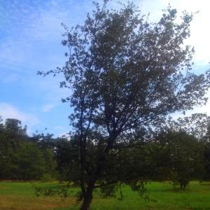 Photographie n°90564 du taxon Quercus ilex L. [1753]