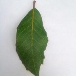 Photographie n°90567 du taxon Quercus ilex L. [1753]