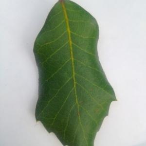 Photographie n°90568 du taxon Quercus ilex L. [1753]