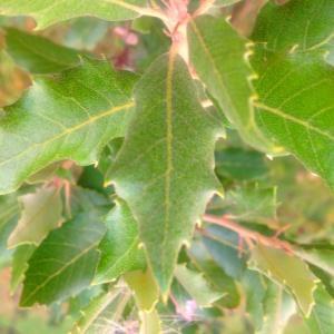 Photographie n°90569 du taxon Quercus ilex L. [1753]