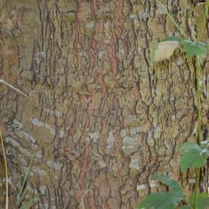Photographie n°90570 du taxon Platanus orientalis L.