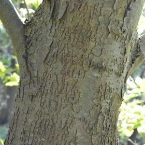 Photographie n°90575 du taxon Platanus orientalis L.