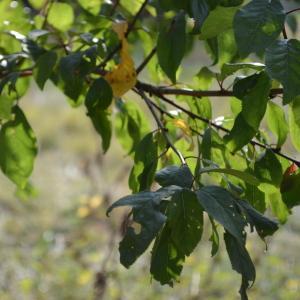 Photographie n°90677 du taxon Prunus cerasifera Ehrh.