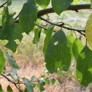 Photographie n°90678 du taxon Prunus cerasifera Ehrh.