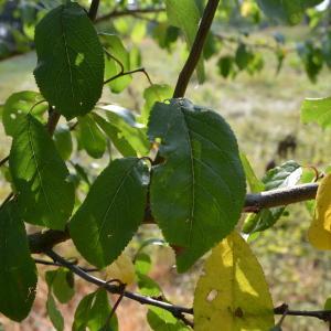 Photographie n°90679 du taxon Prunus cerasifera Ehrh.