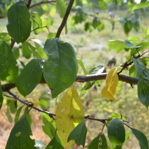 Photographie n°90680 du taxon Prunus cerasifera Ehrh.