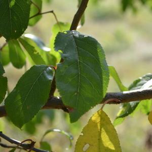 Photographie n°90681 du taxon Prunus cerasifera Ehrh.