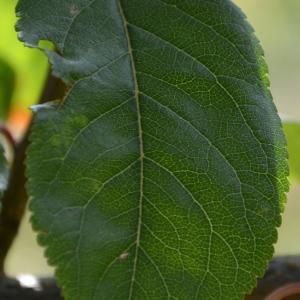 Photographie n°90682 du taxon Prunus cerasifera Ehrh.