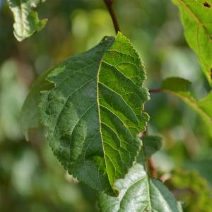 Photographie n°90684 du taxon Prunus cerasifera Ehrh.