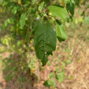 Photographie n°90686 du taxon Prunus cerasifera Ehrh.