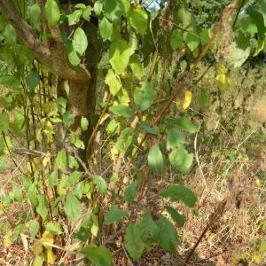 Photographie n°90691 du taxon Prunus cerasifera Ehrh.