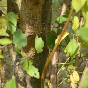 Photographie n°90692 du taxon Prunus cerasifera Ehrh.
