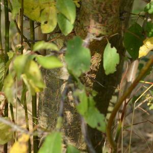Photographie n°90693 du taxon Prunus cerasifera Ehrh.