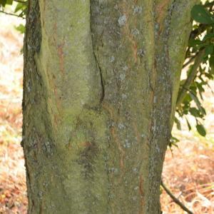 Photographie n°90694 du taxon Prunus cerasifera Ehrh.