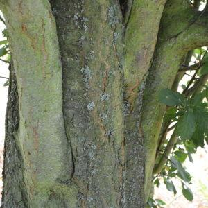 Photographie n°90697 du taxon Prunus cerasifera Ehrh.