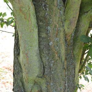 Photographie n°90698 du taxon Prunus cerasifera Ehrh.