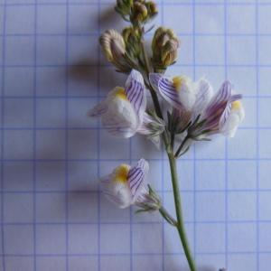 Photographie n°90721 du taxon Linaria striata (Lam.) DC. [1805]