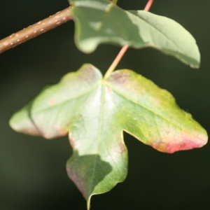 Photographie n°90761 du taxon Acer monspessulanum L. [1753]