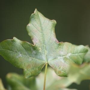 Photographie n°90763 du taxon Acer monspessulanum L. [1753]