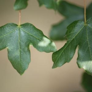 Photographie n°90764 du taxon Acer monspessulanum L. [1753]