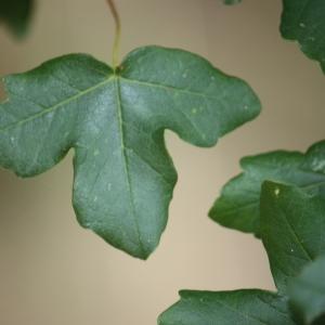 Photographie n°90765 du taxon Acer monspessulanum L. [1753]
