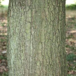 Photographie n°90768 du taxon Acer monspessulanum L. [1753]