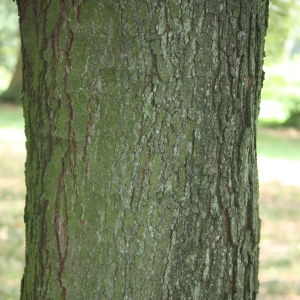 Photographie n°90769 du taxon Acer monspessulanum L. [1753]