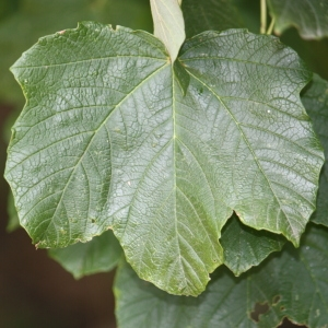Photographie n°90772 du taxon Acer opalus Mill.