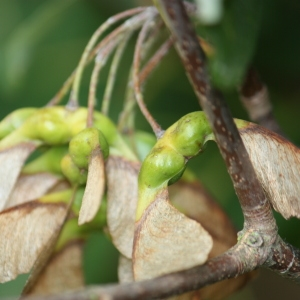 Photographie n°90773 du taxon Acer opalus Mill.