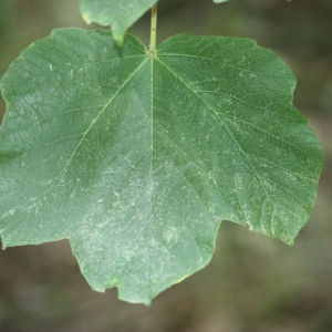 Photographie n°90774 du taxon Acer opalus Mill.