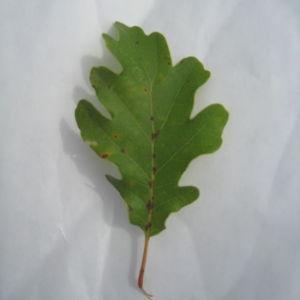 Photographie n°90920 du taxon Quercus pubescens Willd. [1805]