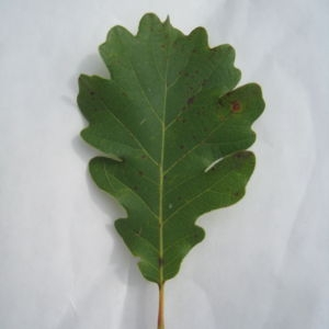 Photographie n°90921 du taxon Quercus pubescens Willd. [1805]