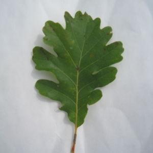 Photographie n°90923 du taxon Quercus pubescens Willd. [1805]