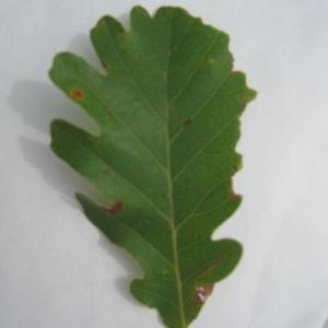 Photographie n°90924 du taxon Quercus pubescens Willd. [1805]