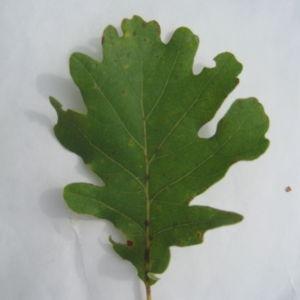 Photographie n°90925 du taxon Quercus pubescens Willd. [1805]