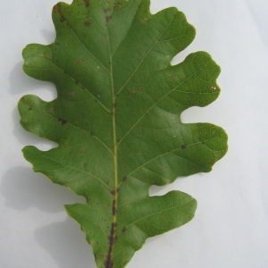 Photographie n°90928 du taxon Quercus pubescens Willd. [1805]