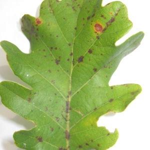 Photographie n°90930 du taxon Quercus pubescens Willd. [1805]
