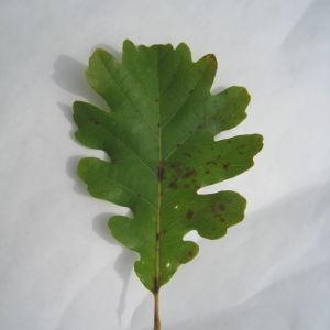Photographie n°90931 du taxon Quercus pubescens Willd. [1805]