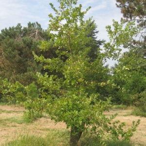 Photographie n°90935 du taxon Quercus pubescens Willd. [1805]