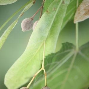 Photographie n°90956 du taxon Tilia platyphyllos Scop. [1771]