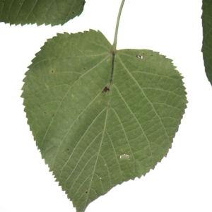 Photographie n°90966 du taxon Tilia platyphyllos Scop. [1771]