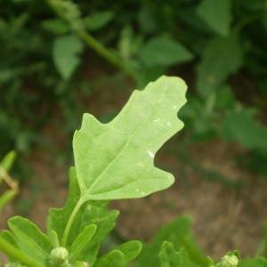 Photographie n°90982 du taxon Chenopodium ficifolium Sm.
