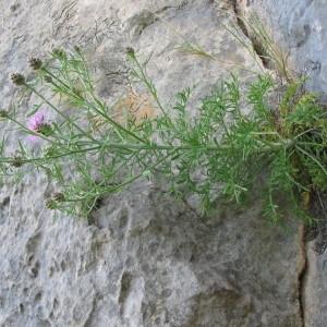 Photographie n°91001 du taxon Centaurea corymbosa Pourr. [1788]