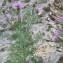 Christophe Girod - Centaurea corymbosa Pourr. [1788]