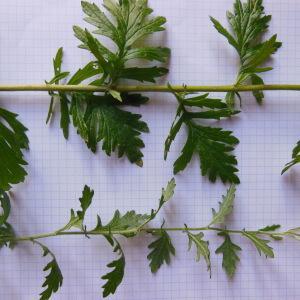 Photographie n°91014 du taxon Senecio erucifolius L.