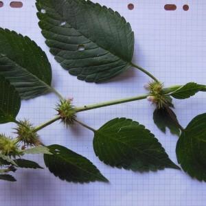 Photographie n°91018 du taxon Galeopsis tetrahit L.
