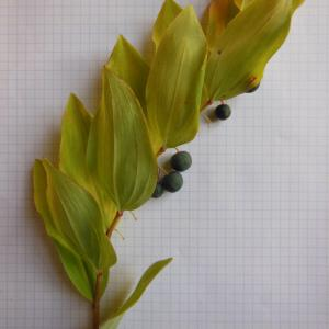 Photographie n°91027 du taxon Polygonatum multiflorum (L.) All. [1785]